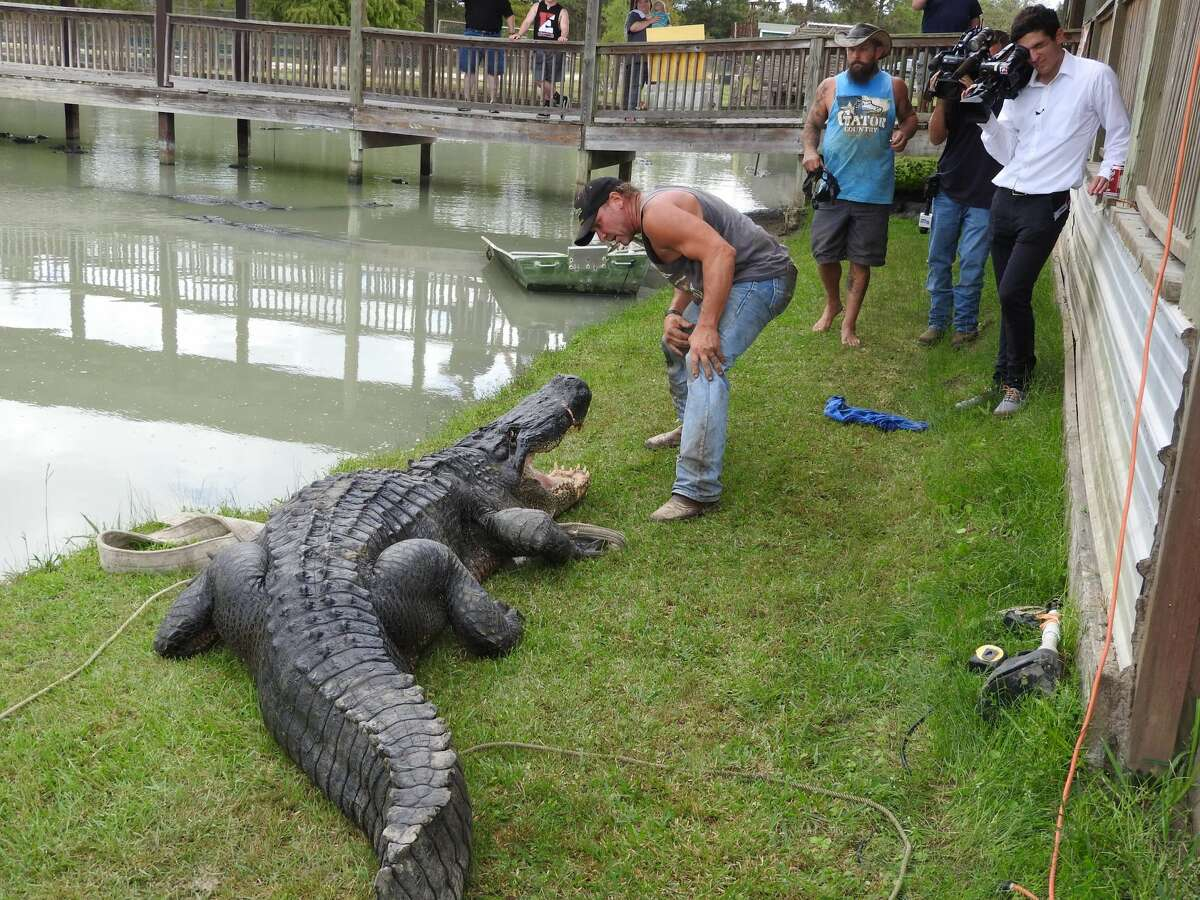 A pair of alligator hunters from Beaumont are already getting congratulations from across the country for their catch, a 13-foot, 8-inch beast that could be the biggest ever captured live in Texas. And, they're going to let Facebook users vote on a name.