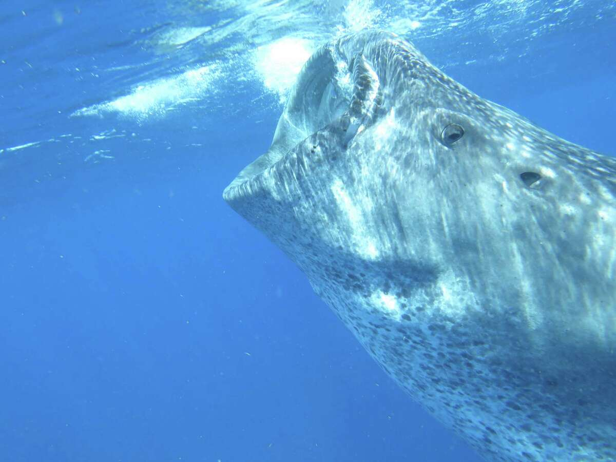 A whale shark seen by Chris McGee, a sixth-grade math teacher at Nathan Hale Middle School, during his two-week trip to Grand Cayman and Mexico to study lionfish and learn about conservation.