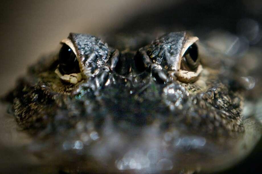 Alligator Eyes Photo: Getty Images