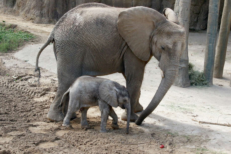 A bouncing baby elephant at the Dallas Zoo is getting all the attention up in Big D right now. The calf, named Ajabu, was born back in early May but just now made his public debut at the zoo for all to see. According to the zoo staff he was somewhat of a surprise birth as earlier pregnancy tests on his mother Mlilo were inconclusive. Elephants have a gestation of around two years. Photo: Dallas Zoo