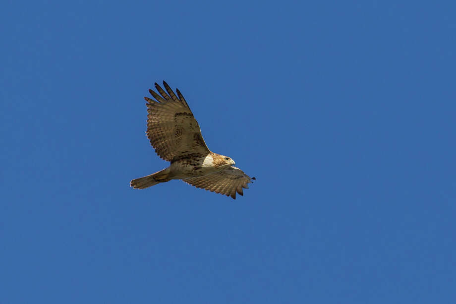 Red-tailed hawks will be plentiful this fall and winter as the resident Texas population swells with migratory birds from the north. Photo: Kathy Adams Clark / Kathy Adams Clark/KAC Productions