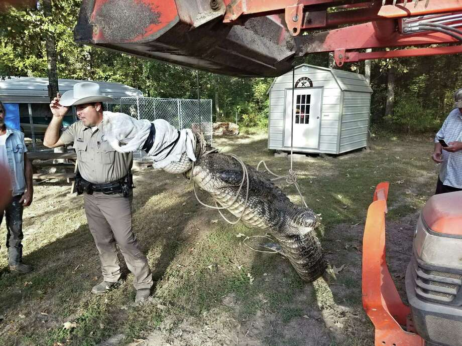 Texas game wardens use heavy equipment to transport an 11-foot alligator away from a travel trailer in the Holiday Villages Subdivision on Lake Livingston on Thursday, Oct. 13. Photo: Submitted
