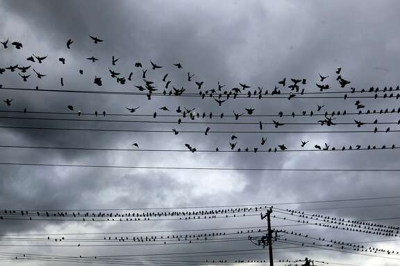 Hundreds of birds gather on power lines next to a Bart transfer station in Antioch California Saturday Dec. 1, 2012, as storm clouds form above.
