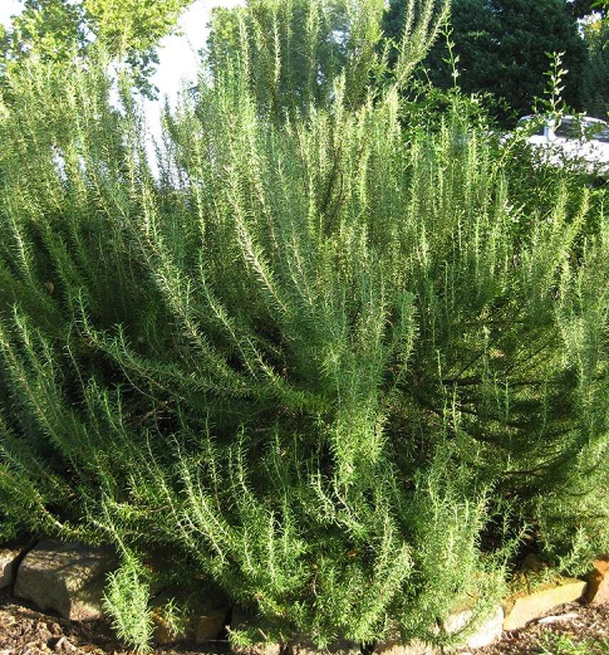 This three-year-old propagated Rosemary plant's branch structure is low to the ground making it ideal for layering.