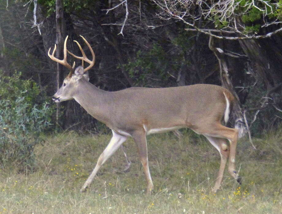 What should states do to fight CWD? Focus on free-ranging deer. This is admittedly a tougher problem. While it's easy to track and test deer in closed facilities, deer in the wild can move long distances. Photo: Picasa /