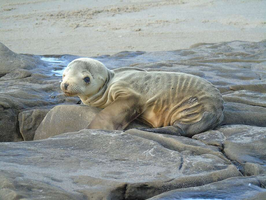 An under weight sea lion pup in February on the Channel Islands. The pups measured last year had the lowest average weight in 41 years of testing. Photo: NOAA Fisheries West Coast