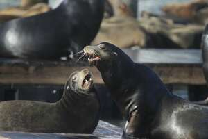 Two sea lions interact on the dock at Pier 39 on Monday, December 14,  2015 in San Francisco, Calif.