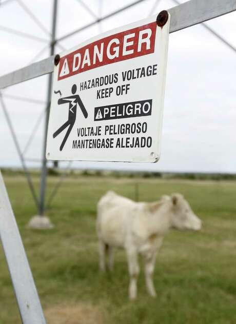 One of Beth and Roy McDonald's cattle stands under the high voltage power transmission lines Thursday, Oct. 13, 2016 that cross the McDonald's property just outside Lockhart. The McDonald's property lies on the Vista Ridge pipeline route and they were facing an eminent domain fight since they were not interested in having another easement on their land. They already had easements for high voltage power lines, oil pipelines and other water lines.