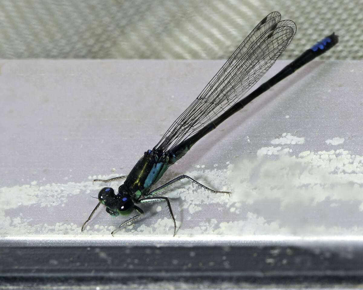 Adult damselflies like this one will be abundant in Mountain Lake by spring if the larvae planted in the north arm of Mountain Lake in San Francisco's Presidio on Friday, Oct. 14, 2016, grow to maturity.