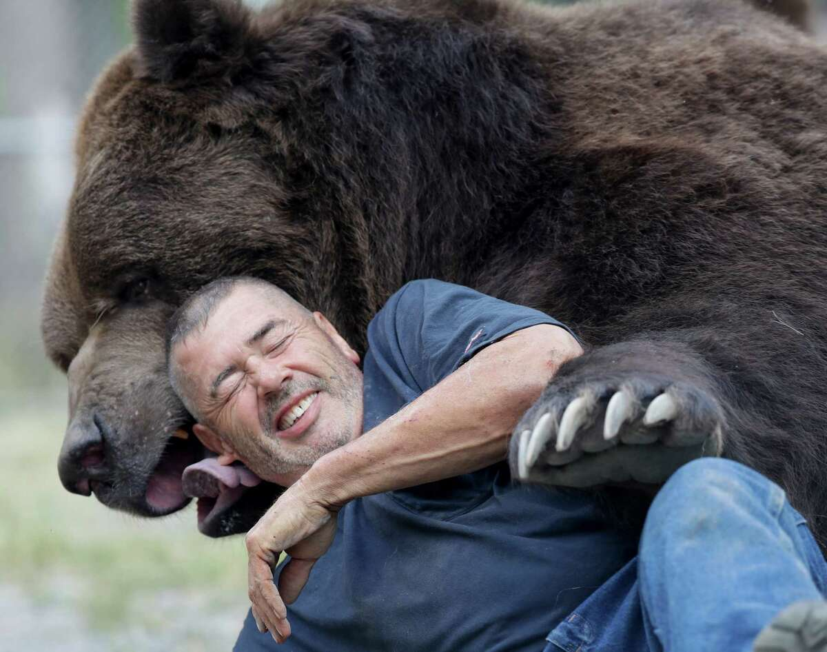 In this Wednesday, Sept. 7, 2016 photo, Jim Kowalczik plays with Jimbo, a 1500-pound Kodiak bear, at the Orphaned Wildlife Center in Otisville, N.Y. (AP Photo/Mike Groll) ORG XMIT: NYMG202