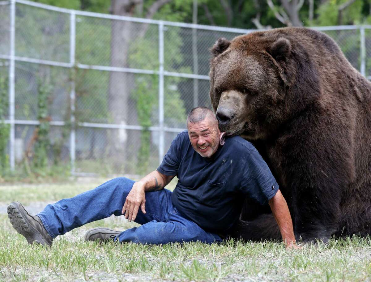In this Wednesday, Sept. 7, 2016 photo, Jim Kowalczik plays with Jimbo, a 1500-pound Kodiak bear, at the Orphaned Wildlife Center in Otisville, N.Y. (AP Photo/Mike Groll) ORG XMIT: NYMG201