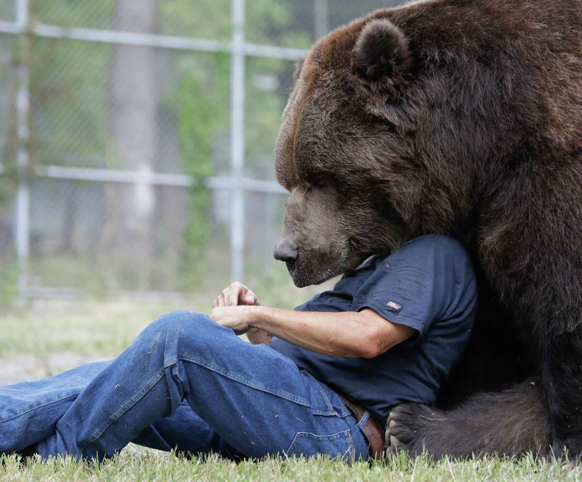 In this Wednesday, Sept. 7, 2016 photo, Jim Kowalczik plays with Jimbo, a 1500-pound Kodiak bear, at the Orphaned Wildlife Center in Otisville, N.Y. (AP Photo/Mike Groll) ORG XMIT: NYMG203