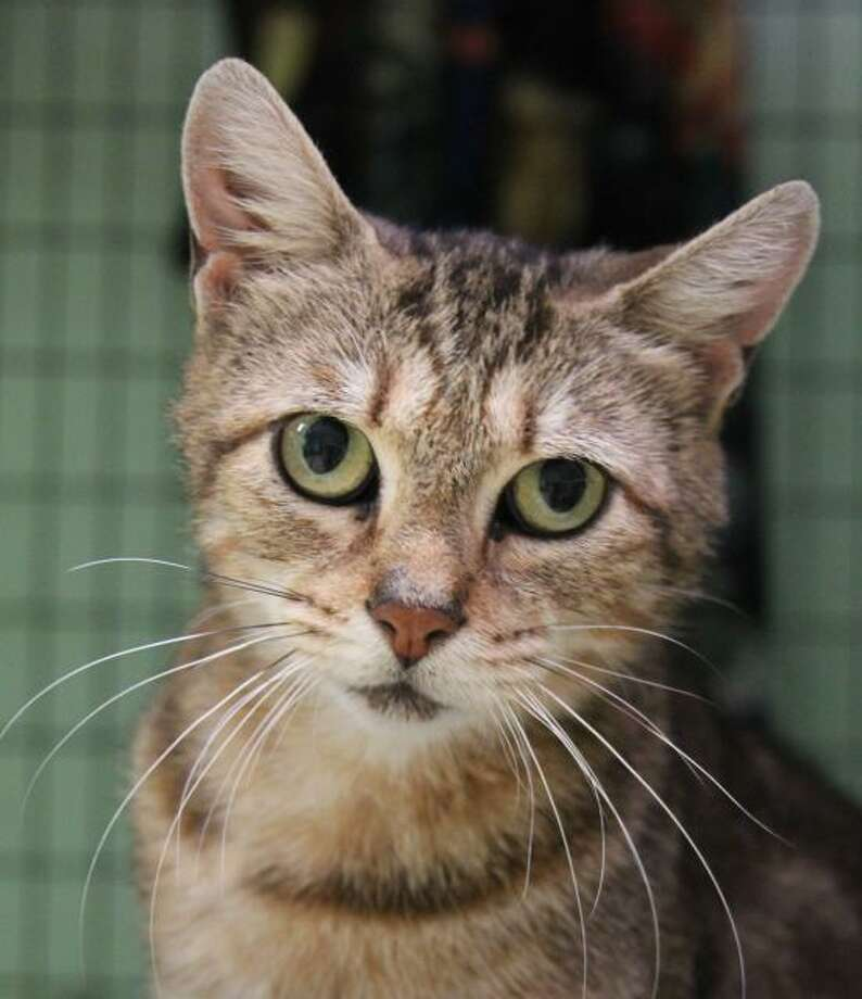 Grace is a playful and affectionate petite tabby. (Mary Lou Baker)