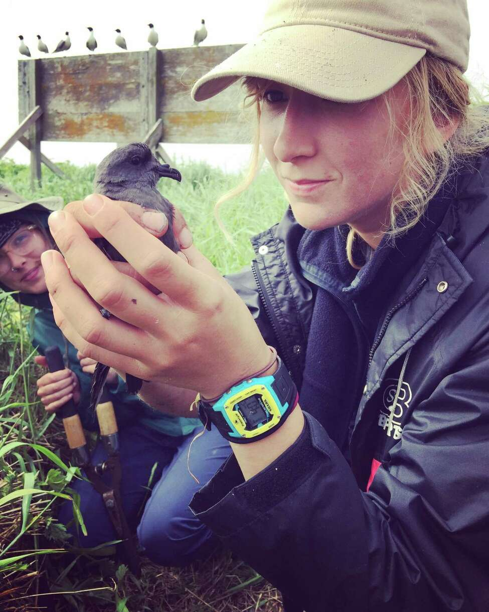 Caroline Bailey, a new Greenwich-based intern with Audubon Connecticut,with a leach's storm petrel.