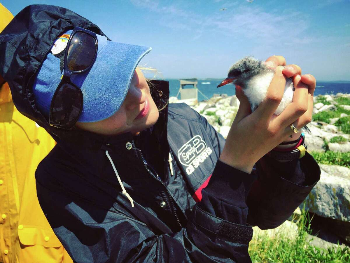 Caroline Bailey, a new Greenwich-based intern with Audubon Connecticut, with a common tern chick.