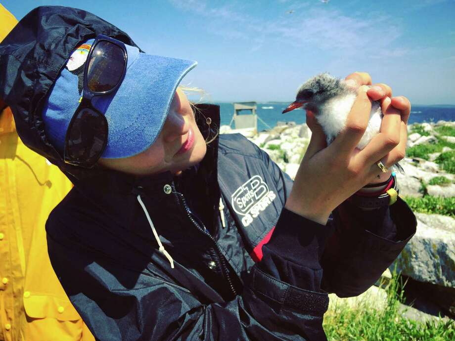 Caroline Bailey, a new Greenwich-based intern with Audubon Connecticut, with a common tern chick. Photo: Contributed Photo