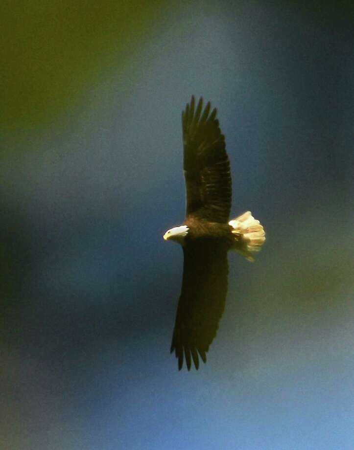 A Bald Eagle in flight over the Mohawk River at Lock 7, Friday Oct. 14, 2016 in Niskayuna, NY.  (John Carl D'Annibale / Times Union) Photo: John Carl D'Annibale, Albany Times Union