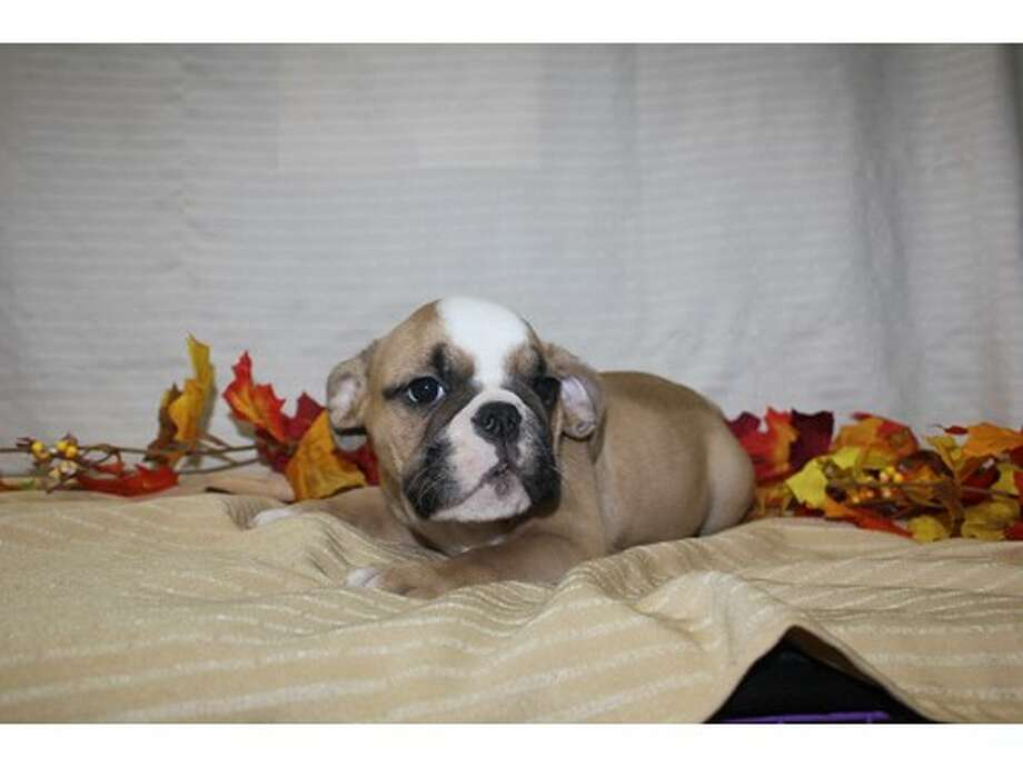 This bulldog puppy is one of six that were stolen Saturday, Oct. 15, 2016, from Pet City Houston, 230 Bammel Westfield Road. The shop is offering a reward of $800 for each dog's safe return. Anyone with information is asked to contact Crime Stoppers at 713-222-TIPS (8477). (Pet City Houston) Photo: Pet City Houston