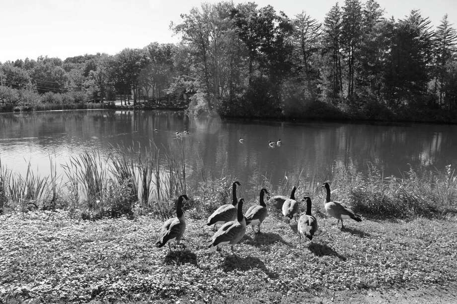 Ducks around the pond in Mead Memorial Park in New Canaan, Conn. on Oct. 14, 2016. Photo: Contributed / Hearst Connecticut Media / New Canaan News