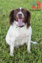Jenny, a five-year-old Springer Spaniel, was injured sniffing bombs in Iraq will be receiving stem cell therapy Tuesday in Adkins.