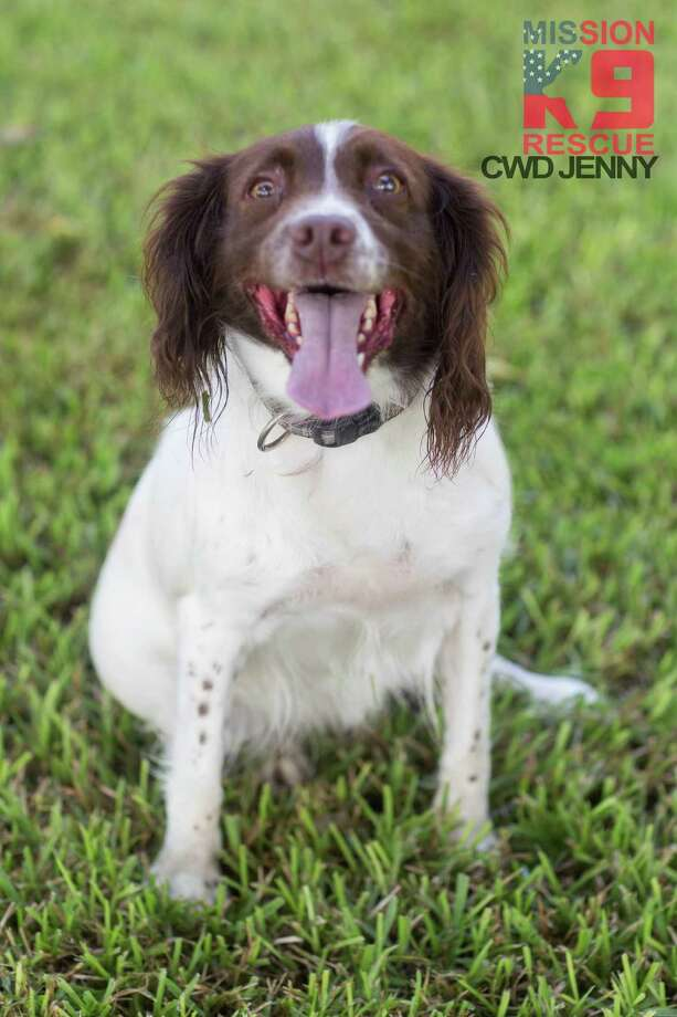 Jenny, a five-year-old Springer Spaniel, was injured sniffing bombs in Iraq will be receiving stem cell therapy Tuesday in Adkins. Photo: / /Mission K9 Rescue