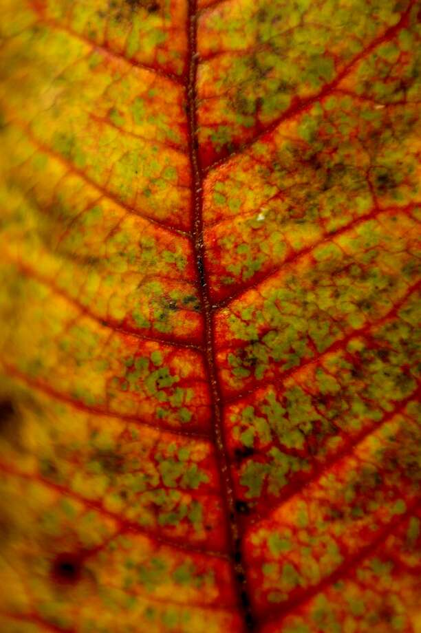 A detailed look at the yellow, red, orange and green hues of a leaf on Monday at City Forest in Midland. The autumn colors of red, orange and yellow are in full swing at the Midland park. Photo: NICK KING | Nking@mdn.net
