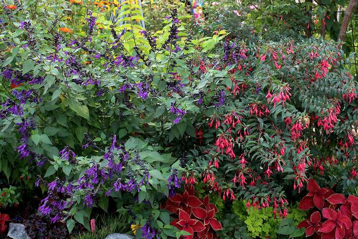 Salvia Amistad.  Credit: Annie's Annuals & Perennials