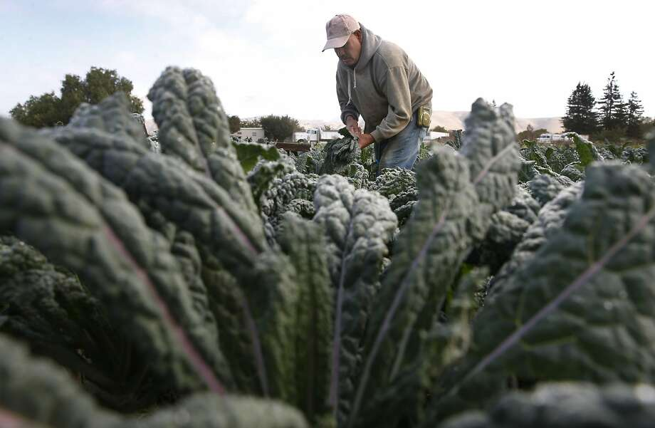 Bonifacio Solis harvests dino kale at the Golden Rule Organics farm in Hollister, Calif. on Tuesday, Oct. 18, 2016. Photo: Paul Chinn, The Chronicle