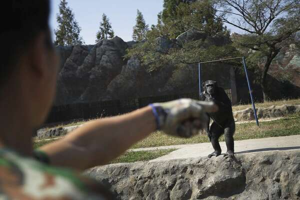 "Azalea, whose Korean name is ""Dallae"", a 19-year-old female chimpanzee, looks at her keeper at the Central Zoo in Pyongyang, North Korea on Wednesday, Oct. 19, 2016. According to officials at the newly renovated zoo, which has become a favorite leisure spot in the North Korean capital since it was re-opened in July, the chimpanzee smokes about a pack a day. They insist, however, that she doesn't inhale. (AP Photo/Wong Maye-E)"