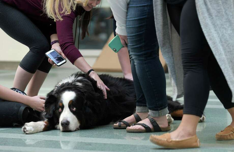 Oliver, a Bernese Mountain therapy dog from Delmar, lies on the ground as students pet him at a Stress Less at UAlbany mid-term event at the Science Library on Tuesday, Oct. 18, 2016 in Albany, N.Y.   (Paul Buckowski / Times Union) Photo: PAUL BUCKOWSKI / 20038449A