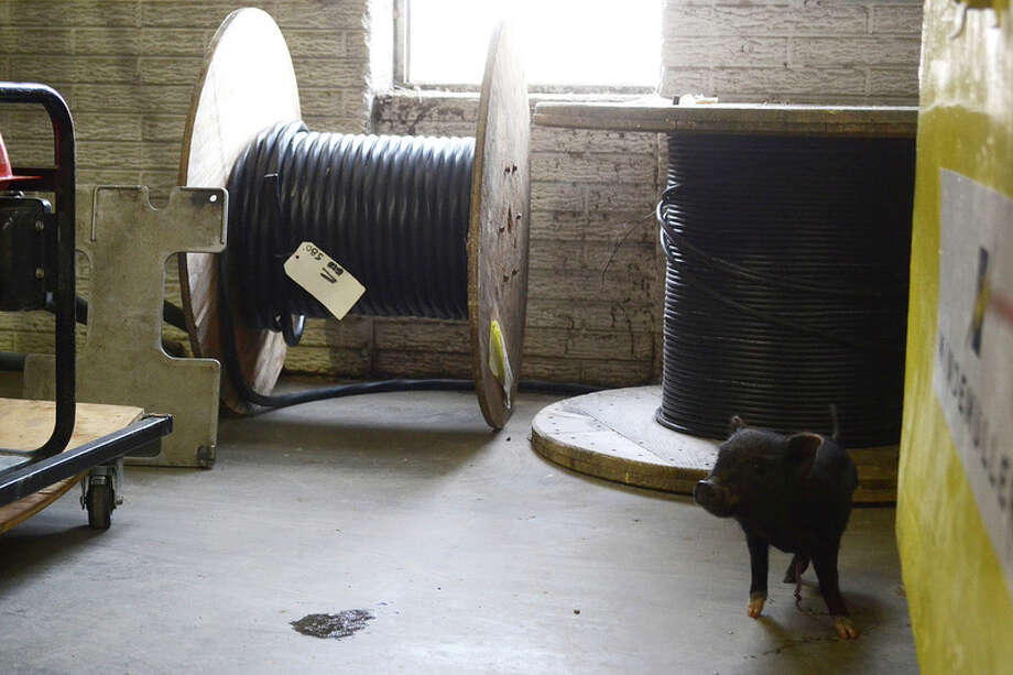 A mini pig is sniffing around a Windmuller warehouse in Midland Township. Chris Aldridge | caldridge@mdn.net
