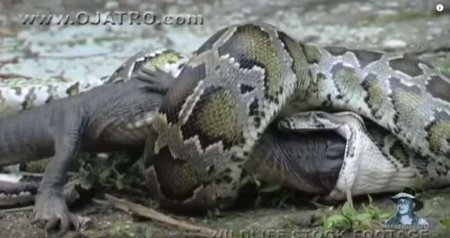 Wildlife videographer Heiko Kiera captures the moment a python eats an alligator in a Dec. 14, 2011 YouTube video. Photo: Courtesy/YouTube