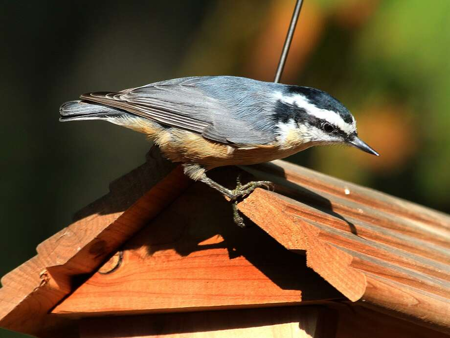 A Red-breasted Nuthatch perches on a feeder in Danbury this fall. Photo: Chris Bosak / Hearst Connecticut Media / The News-Times