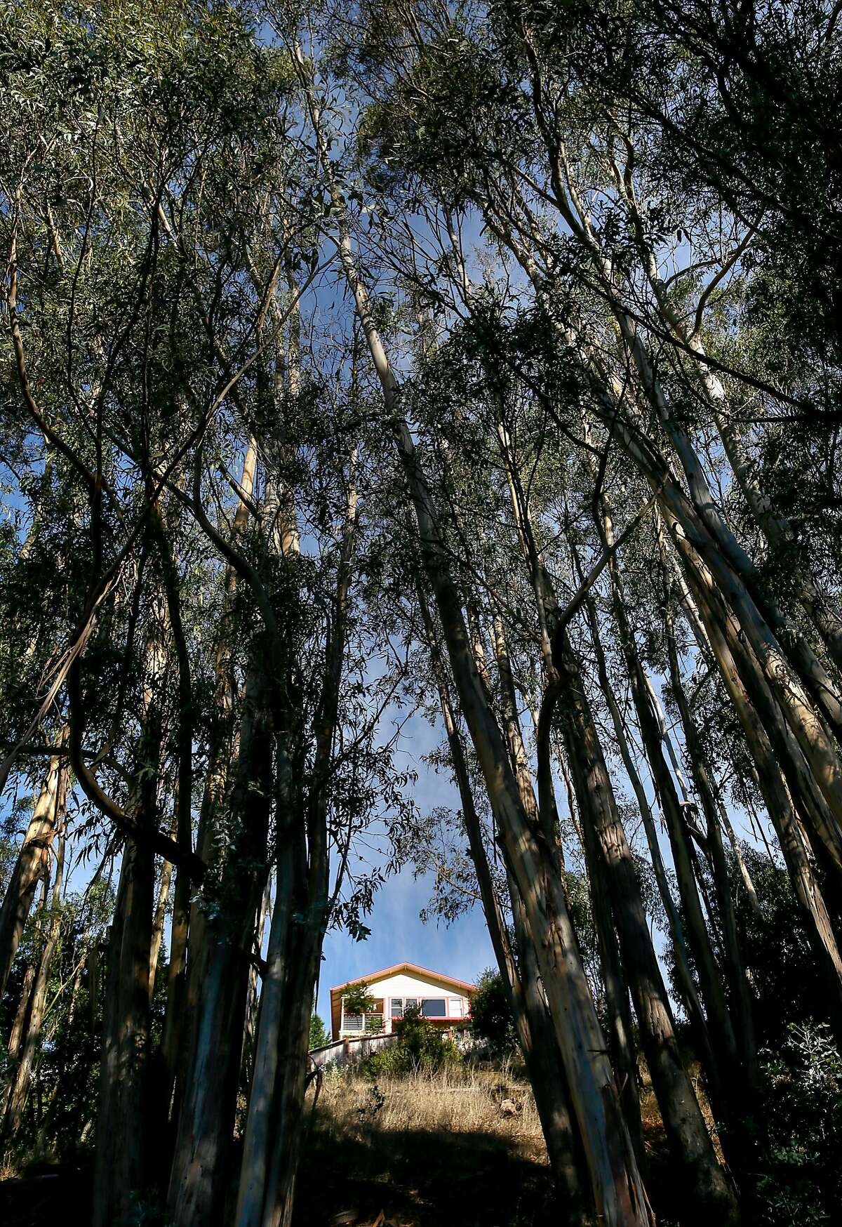 Eucalyptus trees stand tall along Caring cross road in Oakland, California., as seen on Wednesday October 19, 2016, twenty-five years after the Oakland hills fire.