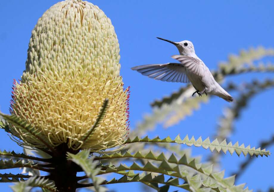 A rare white hummingbird with a pigment disorder is stealing the show at the UC Santa Cruz Arboretum on Wednesday, Oct. 19, 2016. Photo: Ferd Bergholz