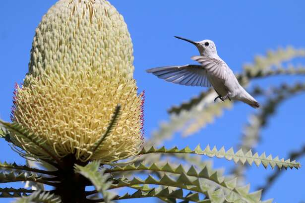 A rare white hummingbird with a pigment disorder is stealing the show at the UC Santa Cruz Arboretum on Wednesday, Oct. 19, 2016.