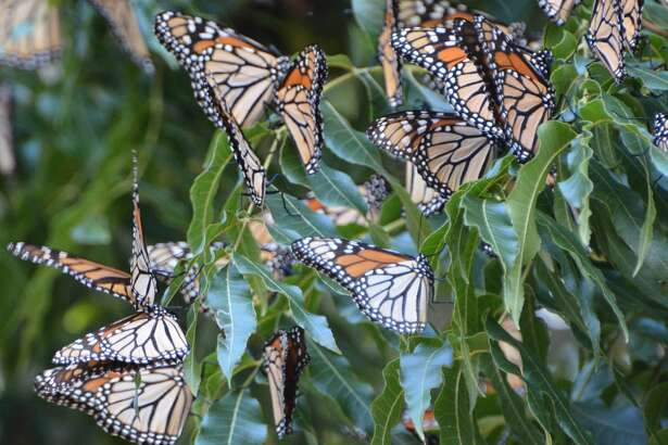 Monarch butterflies rest on a pecan tree during their annual fall migration through the Concho Valley.