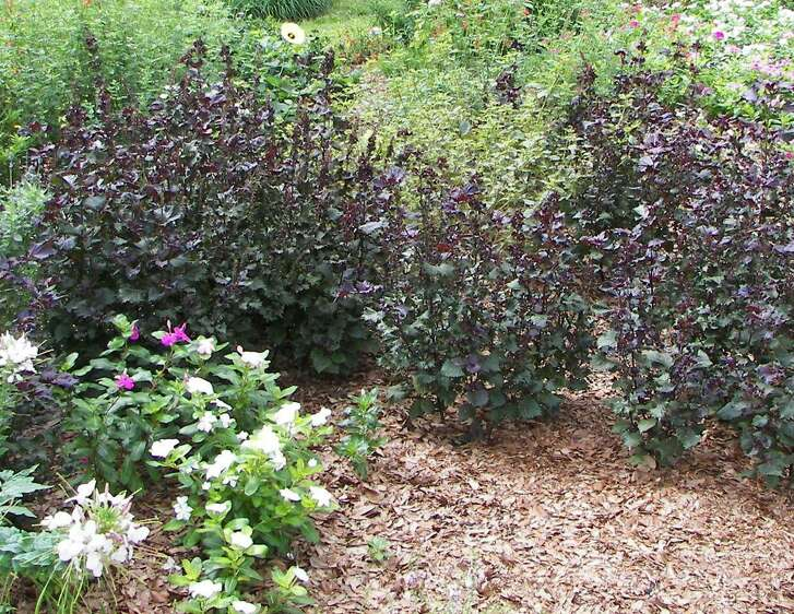 A blanket of live oak leaves serves as mulch around annuals and perennials.