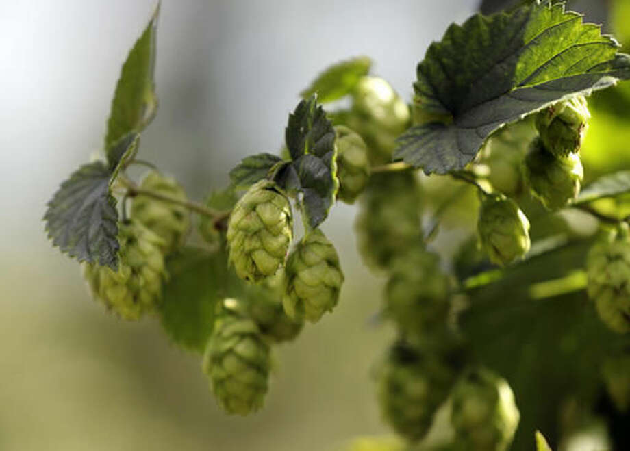 In this Friday, Sept. 2, 2016 photo ripe hop flowers hang from hop plants at the Hamblen Farm in Gorham, Maine. Hops are used in brewing beer to give the beverage it's bitter flavor. (AP Photo/Robert F. Bukaty)