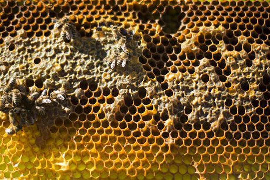 In this Sept. 10, 2016 photo, worker bees tend to a frame of waxen honeycomb at a farm in Napavine, Wash. Beekeepers grapple with the mystery of colony collapse disorder, the scourge of mites, the constant threat of predators, and a slew of other problems that come with raising these insects. (Jordan Nailon/The Chronicle via AP)