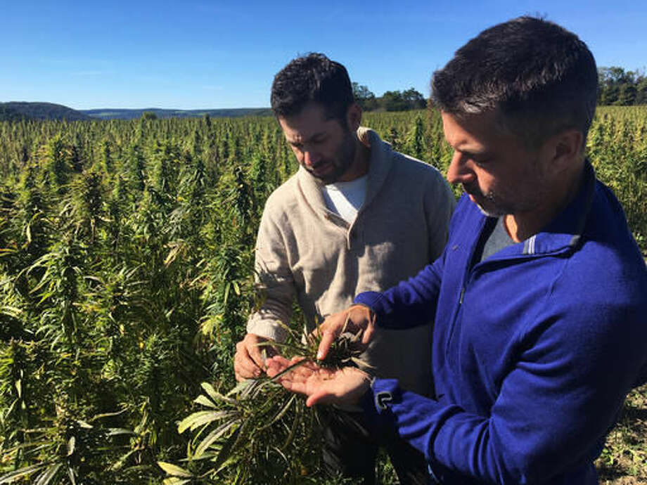 In this Sept. 25, 2016 photo, Dan Dolgin, left, and Mark Justh examine seeds from hemp plants on their JD Farms in Eaton, N.Y. JD Farms in central New York harvested the state's first legal hemp this fall under a university research partnership. (AP Photo/Mary Esch)