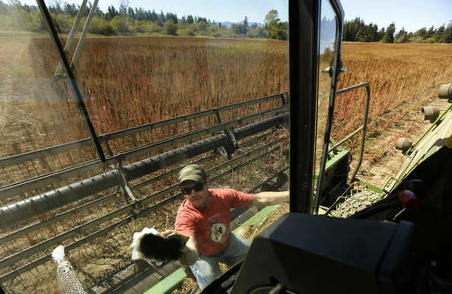 In this Sept. 13, 2016 photo, farmer Sam McCullough cleans the windows of his combine before harvesting quinoa near Sequim, Wash. Quinoa, a trendy South American grain, barely has a foothold in American agriculture, but a handful of farmers and university researchers are working toward changing that. (AP Photo/Ted S. Warren)