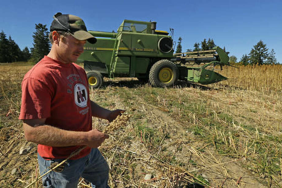 In this Sept. 13, 2016 photo, farmer Sam McCullough holds a stalk of quinoa near his combine during harvest near Sequim, Wash. Quinoa, a trendy South American grain, barely has a foothold in American agriculture, but a handful of farmers and university researchers are working toward changing that. (AP Photo/Ted S. Warren)