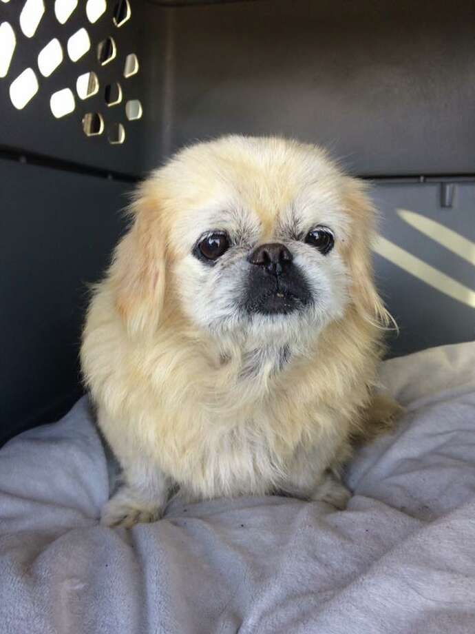 Mooshu, a pekinese dog who had been missing for ten years, was reunited with its owner thanks to a microchip Photo: SF Animal Care