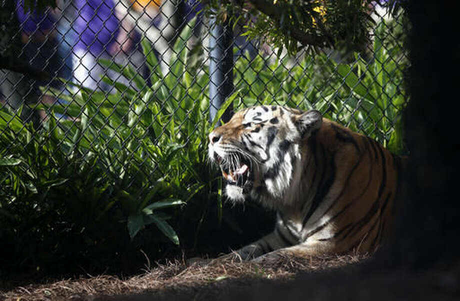 FILE - In this Oct. 17, 2015, file photo, Mike VI, LSU's tiger mascot, rests in his habitat before an NCAA college football game Between LSU and Florida in Baton Rouge, La. Diagnosed with cancer, LSU's live tiger mascot, Mike VI, won't take the field during home football games this season but will remain in his habitat instead. The university, in a news release Tuesday, Sept. 6, 2016, said no attempt will be made to load him into his trailer. (AP Photo/Gerald Herbert, File)