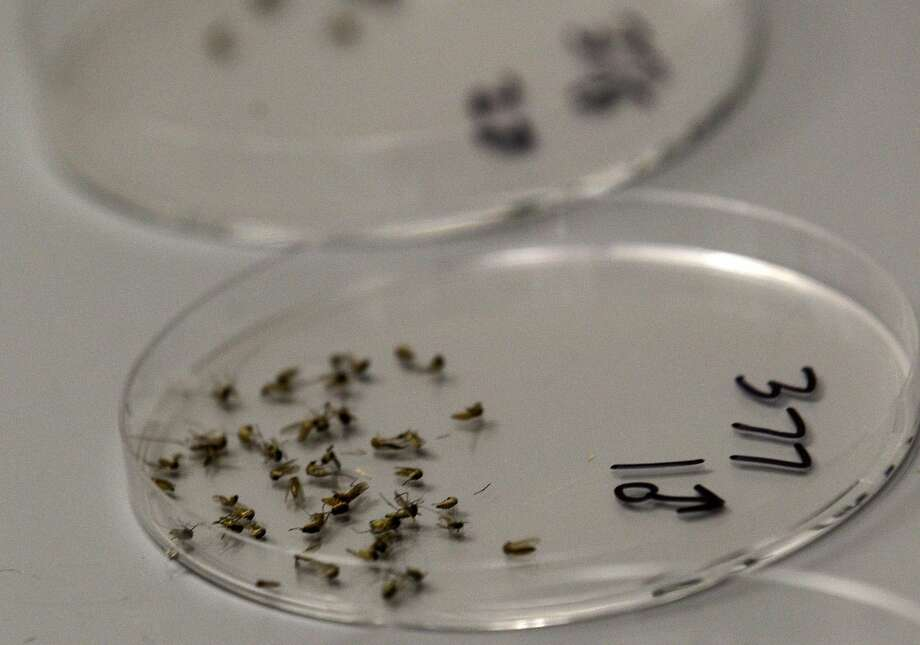 In a Thursday, Aug. 16, 2012 file photo, dead mosquitos are lined up waiting to be sorted at the Dallas County mosquito lab in Dallas. The 48th death due to West Nile has been reported in Gainesville.(AP Photo/LM Otero, File)