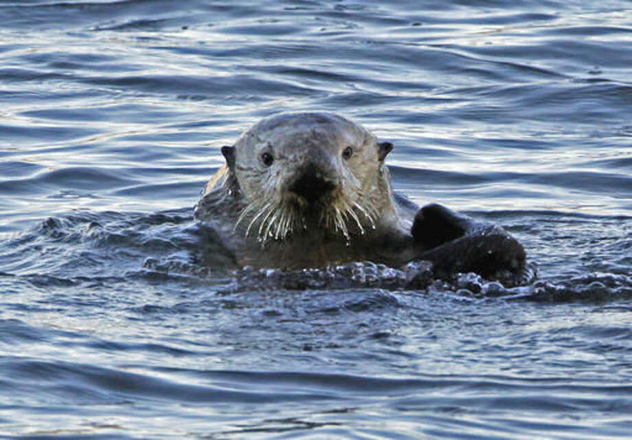 FILE--In this Jan. 15, 2010, file photo, a a sea otter is seen in Morro Bay, Calif. The U.S. Geological Survey said, Monday, Sept. 19, 2016, that a recent count found sea otter numbers have exceeded 3,090 for the first time. If those numbers hold for the next two years, federal officials could consider removing the otter from Endangered Species Act protections. (AP Photo/Reed Saxon, file)
