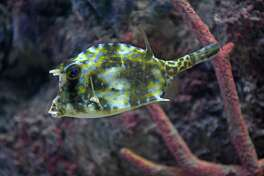 A cow fish at the Via Port Aquarium on Friday Oct. 21, 2016 in Rotterdam , N.Y.  (Michael P. Farrell/Times Union)