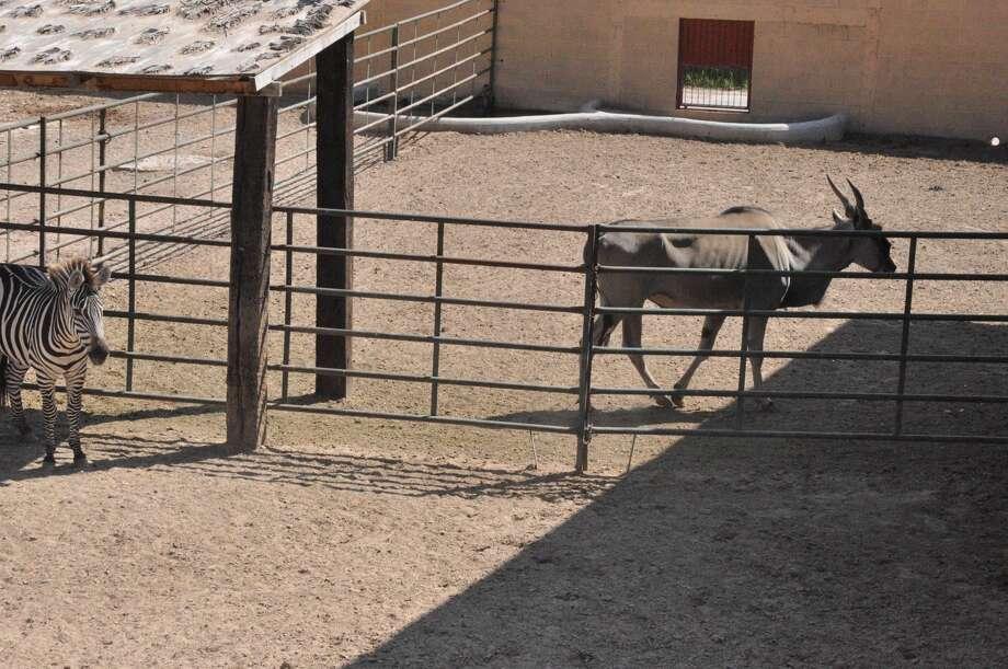 Unos residentes del Zoológico Regional de Nuevo Laredo, México, descansan un poco en un día soleado. La nueva administración del gobierno de la vecina ciudad, determinó cerrar el zoológico al descubrirse que varios animales están enfermos. (Foto de cortesía)