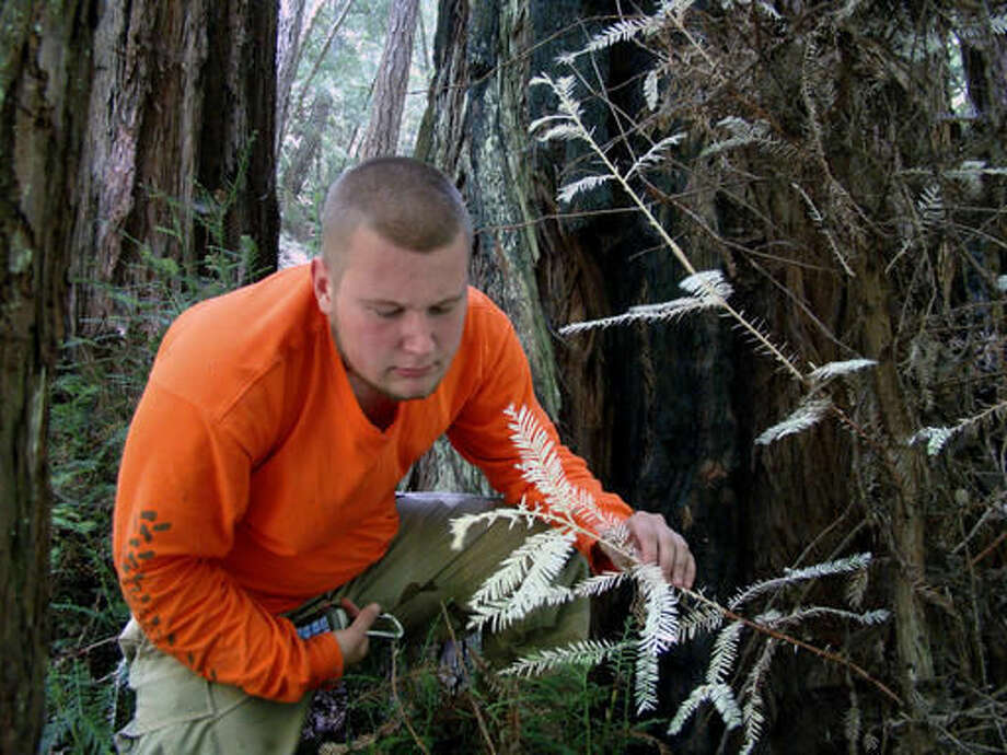 This July 3, 2012 photo provided by Zane Moore shows San Jose researcher Zane Moore, a doctoral student at UC Davis, with an albino redwood in Big Basin Redwoods State Park, one of California's redwood forests. Moore may have figured out that albino redwoods turn white in the middle of deep green California redwood forests by drawing sugars off the huge host trees. Moore, has analyzed the needles of the redwood leaves in a lab and found that they contain high levels of the toxic heavy metals nickel, copper and cadmium. (Steve Moore/Zane Moore via AP)